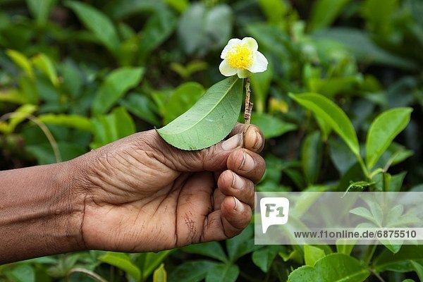 Frau  Blume  halten  Strauch  Sri Lanka  Tee
