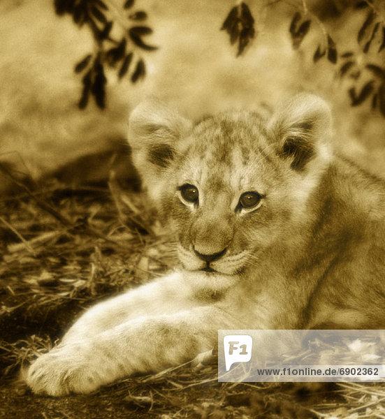 Südliches Afrika  Südafrika  Löwe  Panthera leo  Portrait  Sand  Reservat  junges Raubtier  junge Raubtiere