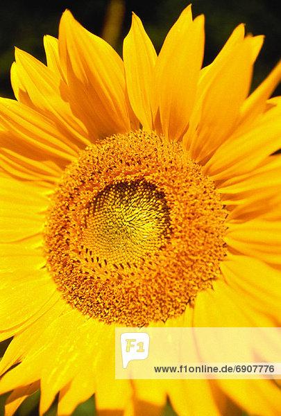 Sonnenblume  helianthus annuus  Close-up  close-ups  close up  close ups