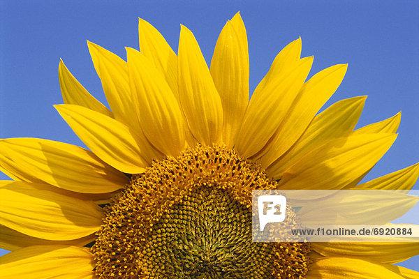 Close-Up of Sunflower