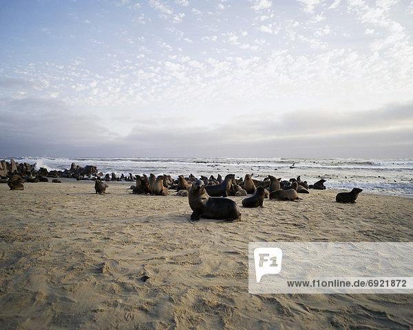 Seals on Beach  Cape Frio  Northern Skeleton Coast  Namibia