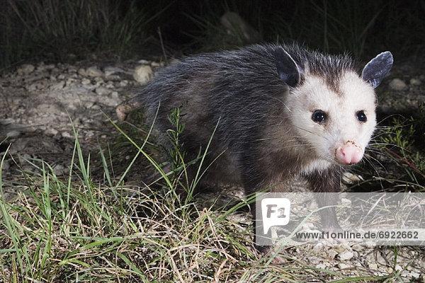 Beutelratte  Didelphis Paraguayensis  Nacht  Opossum Beutelratte, Didelphis Paraguayensis ,Nacht ,Opossum