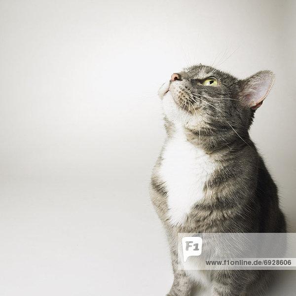 Portrait Katze grau