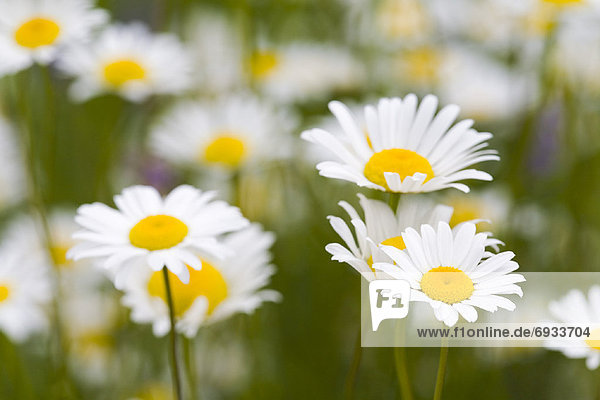 Margerite  Chrysanthemum leucanthemum
