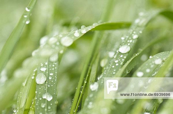 Regen  Gras