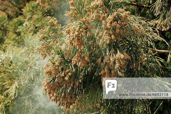 Pollen  Blütenstaub  Baum  gehen lassend  Zeder