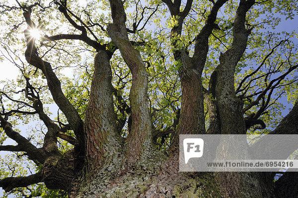 hoch  oben  sehen  Baum  Limette