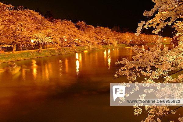 blühen  Nacht  Baum  Kirsche  Menschenreihe