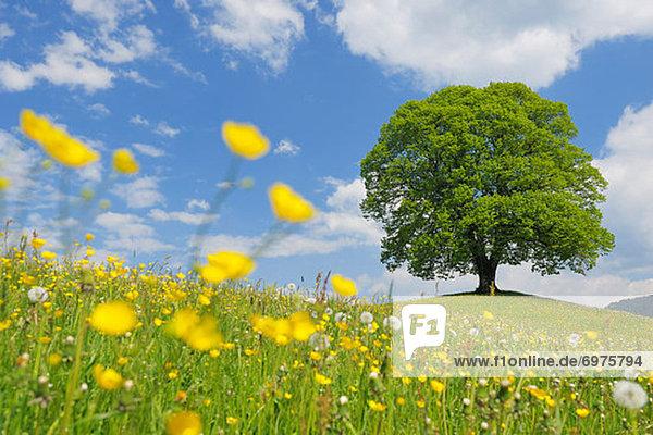 Baum Feld Limette Schweiz