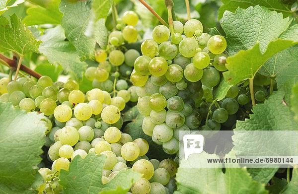Wachstum  weiß  Weintraube  Kletterpflanze
