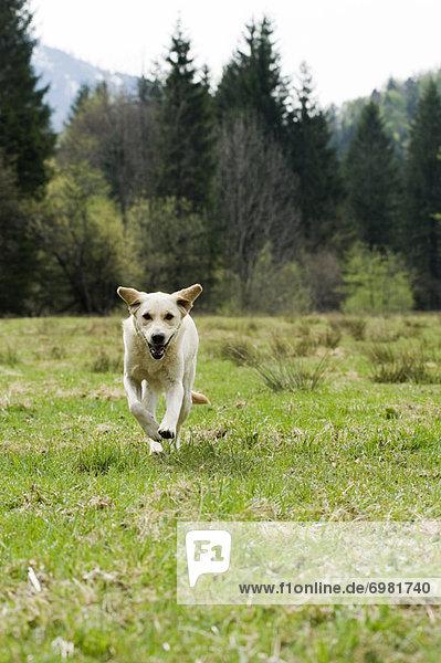 rennen Feld Golden Retriever