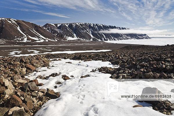 Ellesmere Island  Arktis  Kanada  Fuchs  Nunavut  Schnee