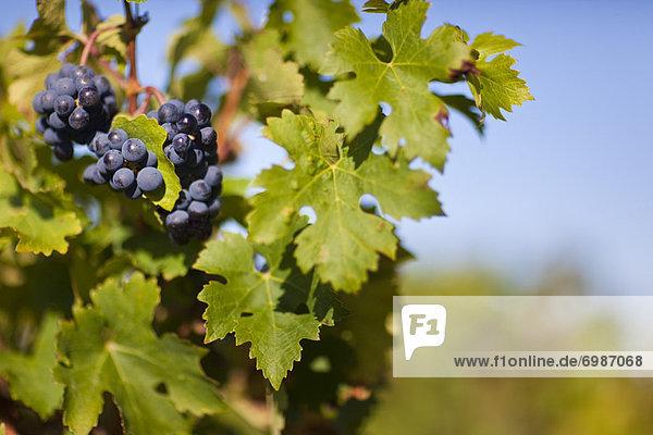 hoch  oben  nahe  Frankreich  Weintraube  Gironde  Weinberg