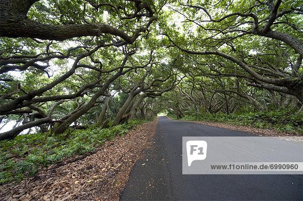 Tree Lined Road  Hawaii  USA