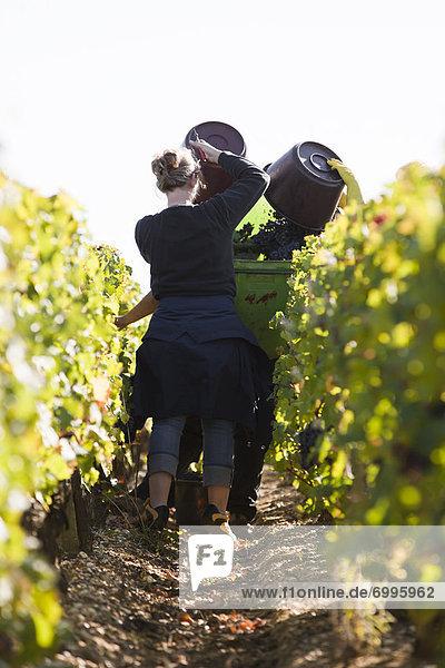 Grape Harvest  Chateau Lynch-Bages  Pauillac  Bordeaux  Gironde  Aquitaine  France Grape Harvest, Chateau Lynch-Bages, Pauillac, Bordeaux, Gironde, Aquitaine, France