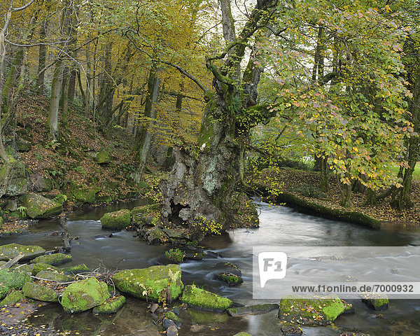 Elm Tree and Brook  Hirschau  Necker River  Baden-Wurttemberg  Germany