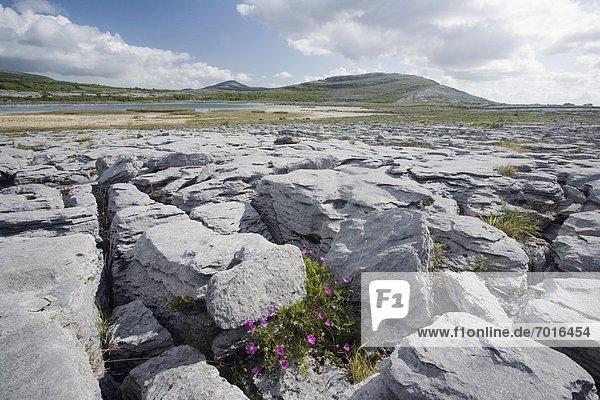 zwischen  inmitten  mitten  Wachstum  Clare County  blutig  Irland  Kalkstein