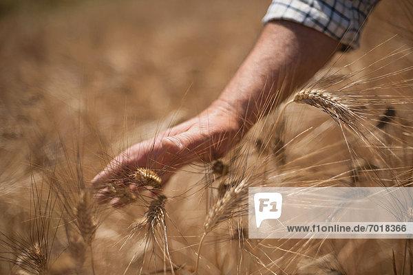 Nahaufnahme der Hände bei der Untersuchung von Weizenstielen