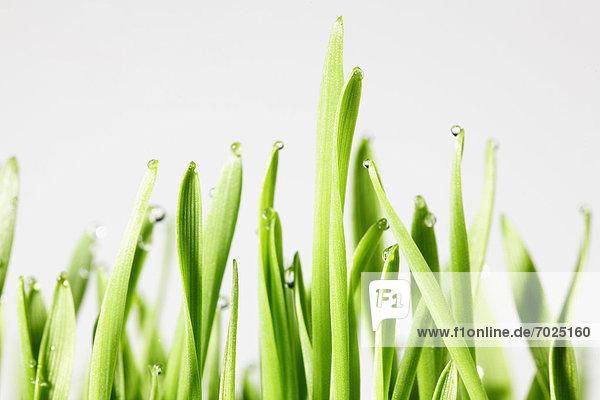 Wheatgrass (close-up)