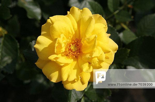 Gelbe Rosenblüte  Rose (Rosa)