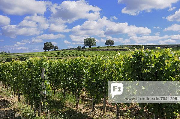 Weinberg von Saint-Emilion  Gironde  Frankreich  Europa