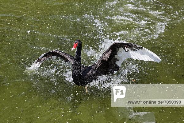 Black Swan (Cygnus atratus)  Tierwelt Herberstein  World of Animals  Buchberg near Herberstein  Stubenberg  Hartberg  Styria  Austria  Europe