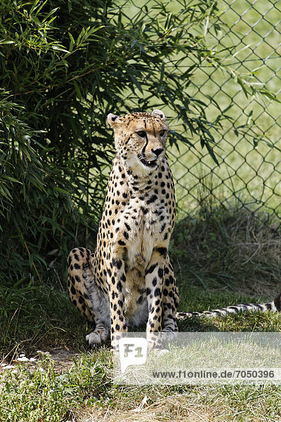 Cheetah (Acinonyx jubatus)  Tierwelt Herberstein  World of Animals  Buchberg near Herberstein  Stubenberg  Hartberg  Styria  Austria  Europe