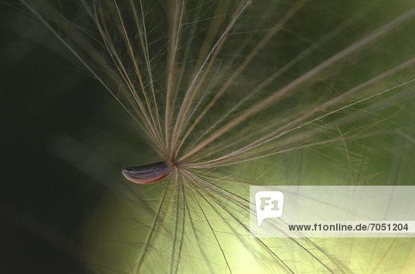 Seed  Creeping thistle (Cirsium arvense)  macro shot