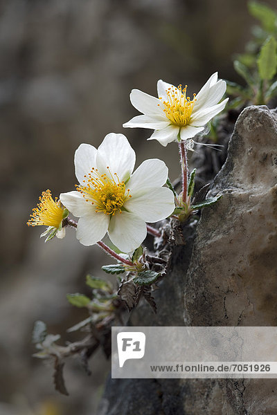 Mountain Avens  White Dryas or White Dryad (Dryas octopetala)  Steinberg  Tyrol  Austria  Europe