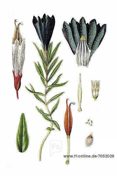 Lungen-Enzian (Gentiana pneumonanthe)  Heilpflanze  historische Chromolithographie  ca. 1786