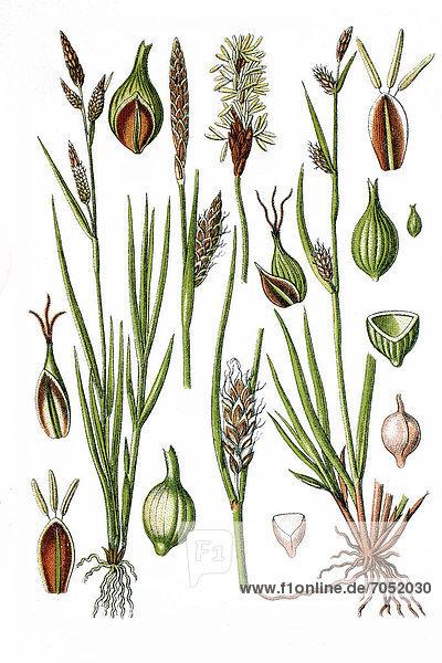 Links: Gelb-Segge (Carex flava)  rechts: Lücken-Segge (Carex distans)  Heilpflanze  historische Chromolithographie  ca. 1786