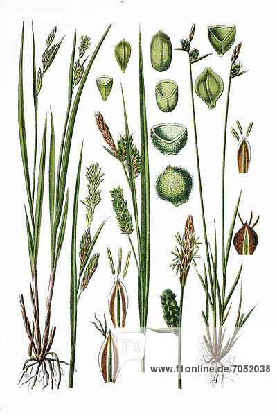 Links: Bleiche Segge (Carex pallescens)  rechts: Filz-Segge (Carex tomentosa)  Heilpflanze  historische Chromolithographie  ca. 1786