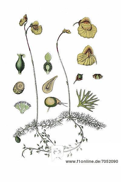 Mittlerer Wasserschlauch (Utricularia intermedia)  Heilpflanze  historische Chromolithographie  ca. 1796
