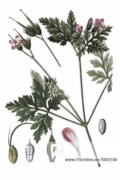 Ruprechtskraut  Stinkender Storchschnabel oder Stinkstorchschnabel (Geranium robertianum)  Heilpflanze  historische Chromolithographie  ca. 1796