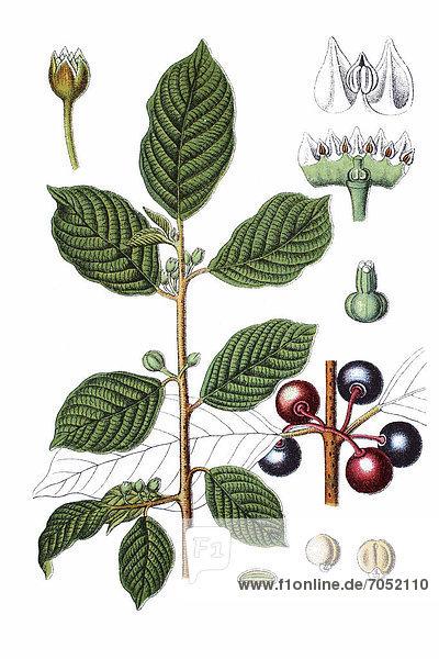 Echter Faulbaum (Rhamnus frangula)  Heilpflanze  historische Chromolithographie  ca. 1796