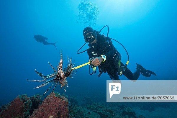 Rotfeuerfisch  Pterois volitans  Karibisches Meer  Dominica