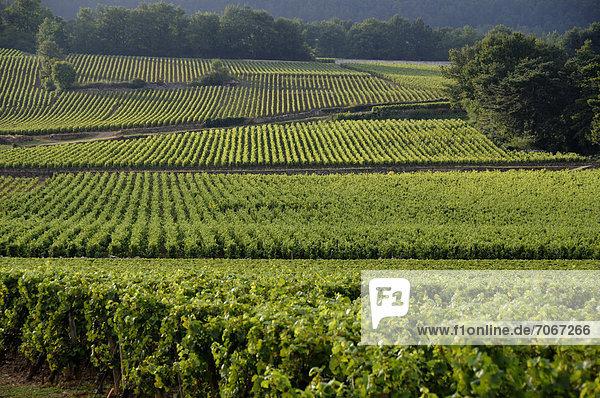 Route der Grands Crus  Meursault  Weinberge von Cotes de Beaune  Cote d'Or  Frankreich  Europa