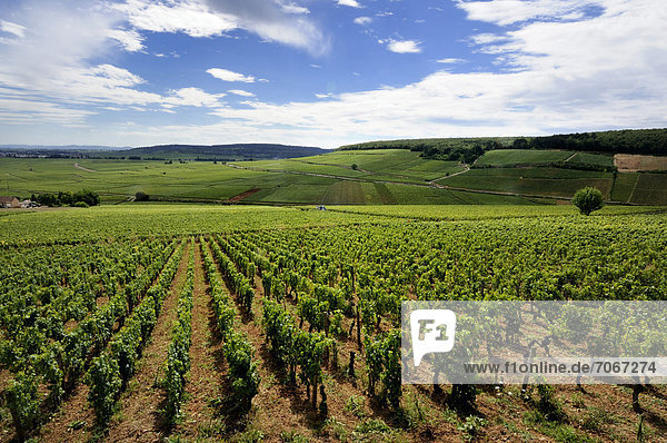 Weinberg von Cotes de Beaune  Cote d'Or  Burgund  Frankreich  Europa