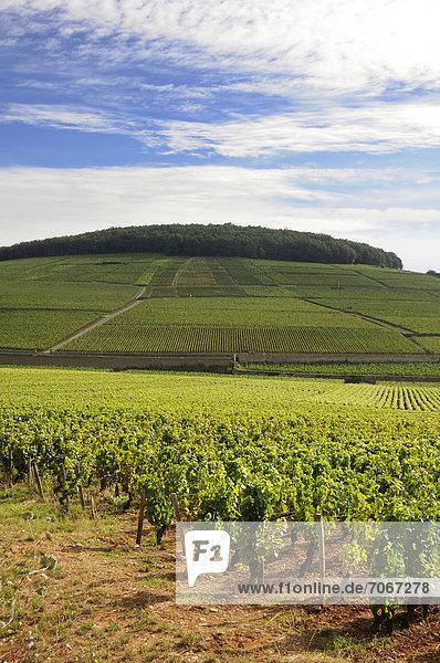 Grand Cru und Premier Cru-Lagen  Weinberge von Aloxe Corton  CÙte de Beaune  Burgund  Frankreich  Europa