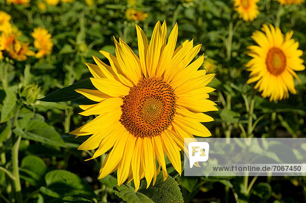 Sonnenblumen (Helianthus annuus)  Limagne Ebene  Frankreich  Europa
