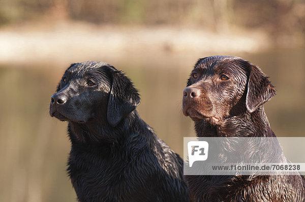 Zwei nasse Labrador Retriever sitzen nebeneinander