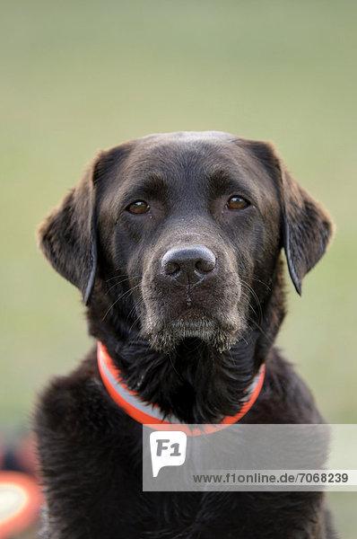 Brauner Labrador Retriever, Portrait