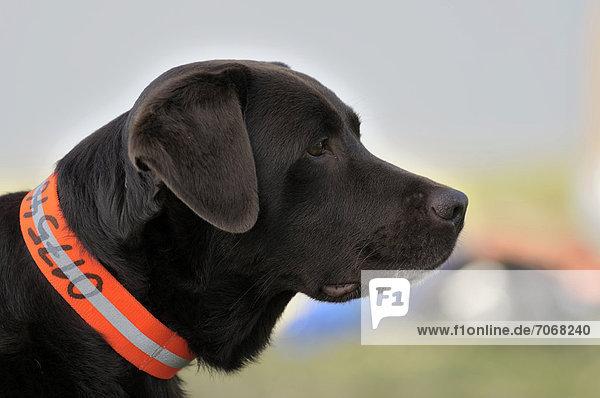 Brauner Labrador Retriever beobachtet etwas  Portrait