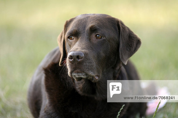 Brauner Labrador Retriever liegt auf Wiese und beobachtet etwas
