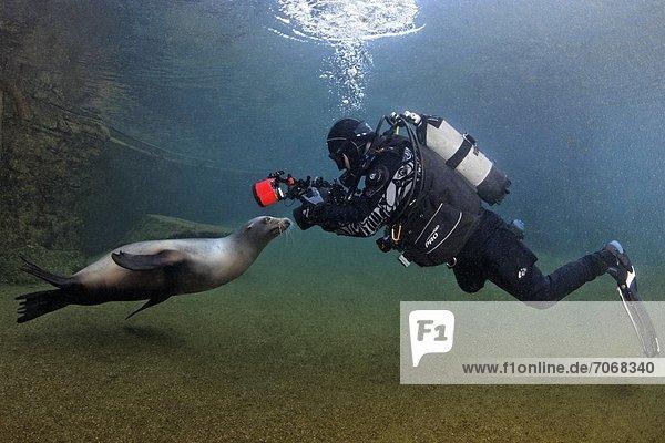 Taucher mit Kalifornischem Seelöwen (Zalophus californianus)  Zoo Karlsruhe  Deutschland  Unterwasseraufnahme