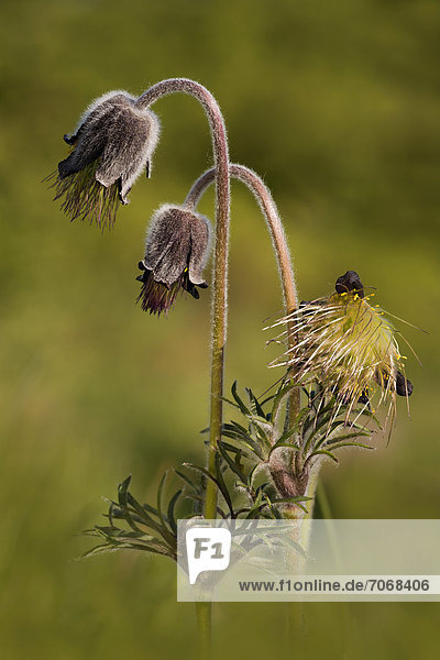Small pasque flower (Pulsatilla pratensis)  Perktoldsdorfer Heide heath  Perktoldsdorf  Lower Austria  Austria  Europe