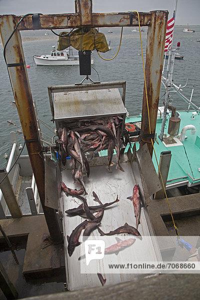 Fishermen unload their catch at the Chatham Fish Pier  Chatham  Massachusetts  USA