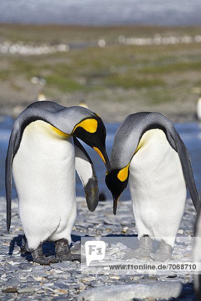 Königspinguine (Aptenodytes patagonicus)  St. Andrews Bay  Südgeorgien  Subantarktis  Antarktis Königspinguine (Aptenodytes patagonicus), St. Andrews Bay, Südgeorgien, Subantarktis, Antarktis