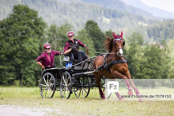 Vollblutaraber  Fuchs  Einspänner im Marathonwagen im Galopp auf der Wiese  Nordtirol  Österreich  Europa
