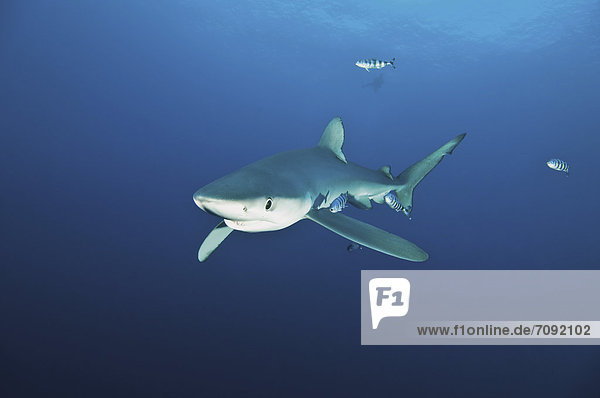 Portugal  Blue shark with pilot fish in Azores